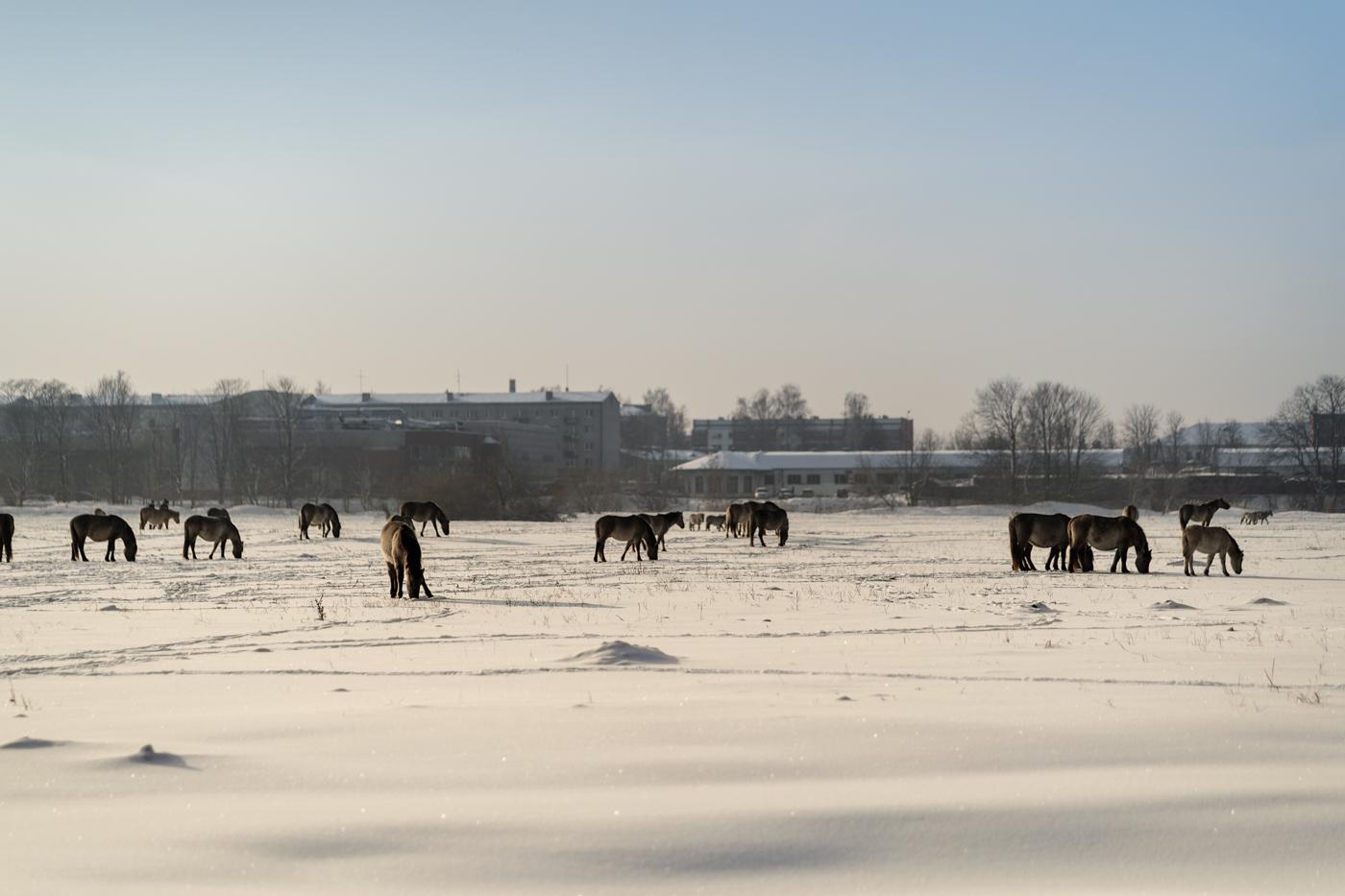 Jelgavas savvaļas zirdziņiem klājas lieliski!