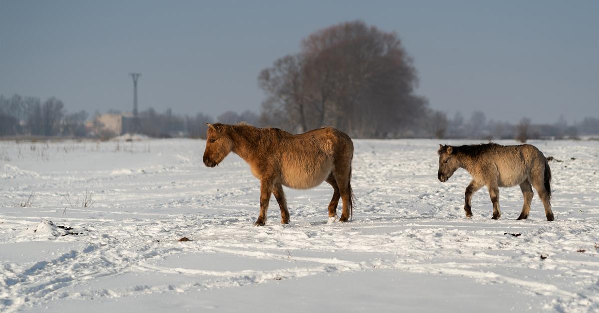 Savvaļas zirgi Jelgavā 2019